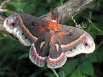 793px-Cecropia_Moth_(Hyalophora_cecropia)
